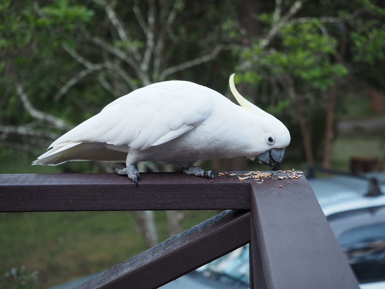 Local cockatoo