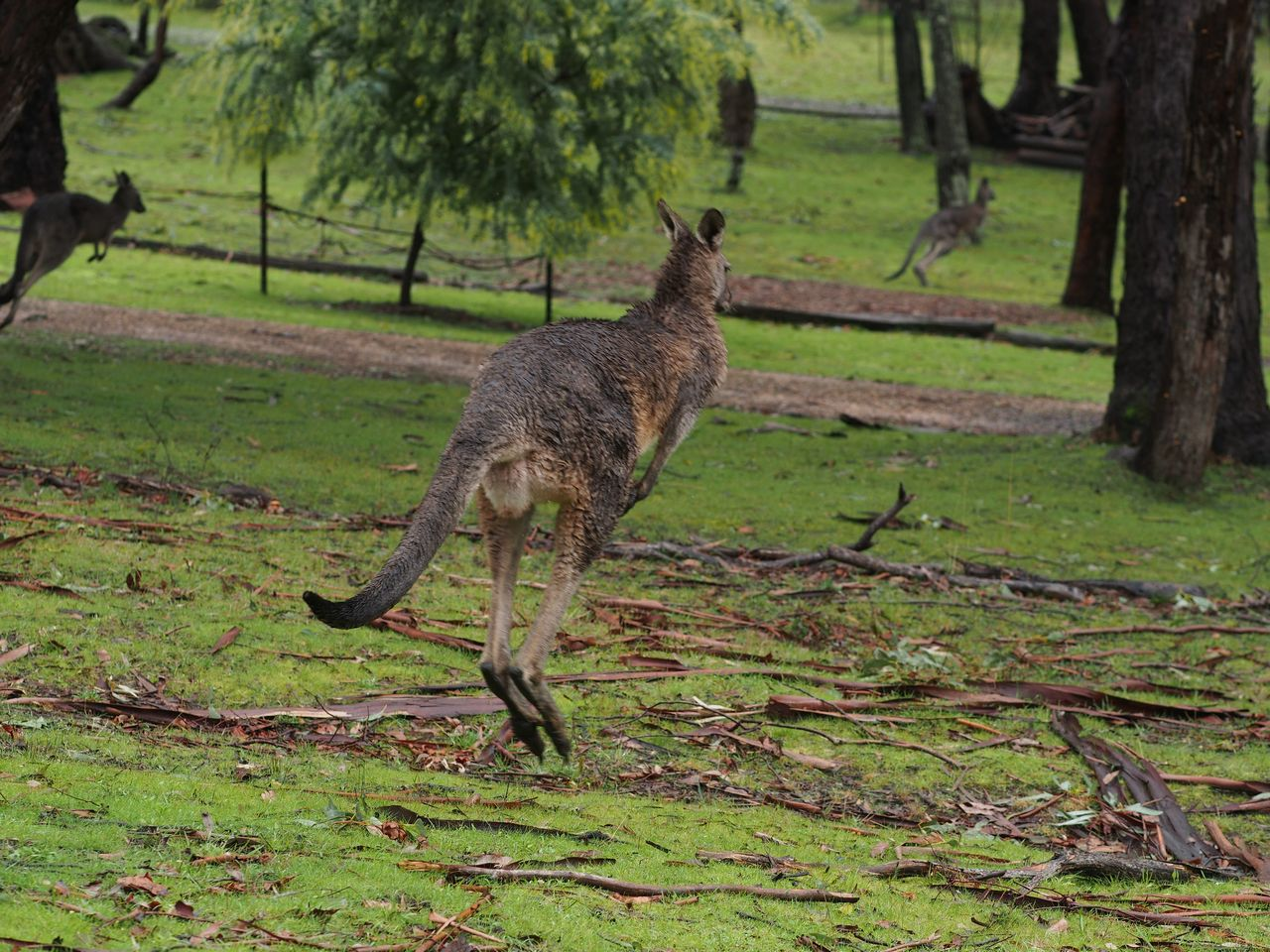 Local 'roos